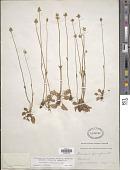 view Parnassia parviflora DC. digital asset number 1