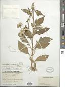 view Crassocephalum crepidioides (Benth.) S. Moore digital asset number 1