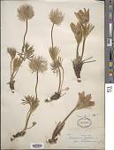 view Pulsatilla ludoviciana (Nutt.) A. Heller digital asset number 1
