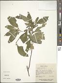 view Turnera ulmifolia L. digital asset number 1