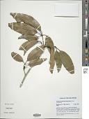 view Teijsmanniodendron bogoriense Koord. digital asset number 1