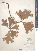 view Quercus x bushii Sarg. digital asset number 1