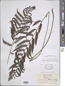 view Steiropteris clypeolutata (Desv.) Pic. Serm. digital asset number 1