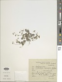 view Crotalaria acicularis Ham. digital asset number 1