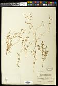 view Euphorbia chaetocalyx Tidestr. digital asset number 1