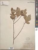 view Malus prunifolia (Willd.) Borkh. digital asset number 1