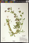 view Trifolium wormskioldii Lehm. digital asset number 1