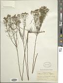 view Euthamia tenuifolia digital asset number 1