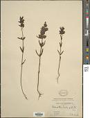 view Rhinanthus crista-galli L. digital asset number 1