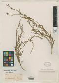 view Nicotiana pampasana Kuntze digital asset number 1