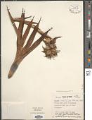 view Werauhia hygrometrica (André) J.R. Grant digital asset number 1