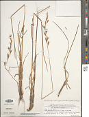 view Helictochloa praeusta (Rchb.) Romero-Zarco digital asset number 1