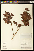view Bredemeyera myrtifolia Spruce ex A.W. Benn. digital asset number 1