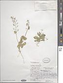 view Draba cuneifolia var. integrifolia S. Watson digital asset number 1