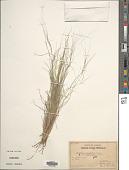 view Aristida purpurea var. longiseta (Steud.) Vasey digital asset number 1