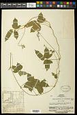 view Vigna angularis var. nipponensis (Ohwi) Ohwi & Ohashi digital asset number 1