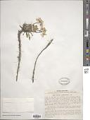 view Parrya nudicaulis (L.) Regel digital asset number 1