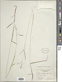 view Carex aestivalis M.A. Curtis ex A. Gray digital asset number 1
