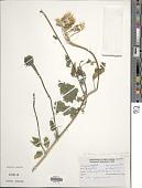 view Tithonia rotundifolia (Mill.) S.F. Blake digital asset number 1