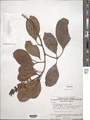 view Anthodiscus mazarunensis Gilly digital asset number 1