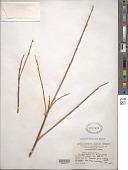 view Salix taoensis Goerz in Rehder & Kobuski digital asset number 1