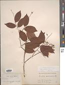 view Hirtella gracilipes (Hook. f.) Prance digital asset number 1