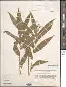view Maianthemum stellatum (L.) Link digital asset number 1