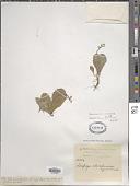 view Saxifraga clavistaminea Engl. & Irmsch. digital asset number 1