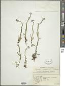 view Myosotis alpestris subsp. asiatica Vestergr. digital asset number 1