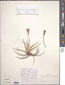 view Barbacenia squamata Herb. digital asset number 1