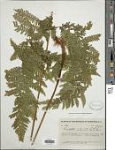 view Ctenitis interjecta (C. Chr.) Ching digital asset number 1