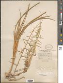 view Eragrostis spinosa (L. f.) Trin. digital asset number 1
