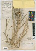 view Panicum tuberosum Llanos digital asset number 1