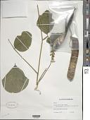 view Canavalia brasiliensis Mart. ex Benth. digital asset number 1