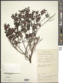 view Uromyrtus brassii (Merr. & L.M. Perry) A.J. Scott digital asset number 1