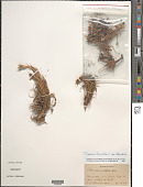 view Tillandsia tenuifolia var. tenuifolia L. digital asset number 1