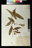 view Passiflora silvestris Vell. digital asset number 1