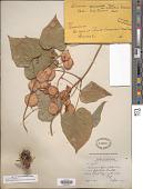 view Dioscorea villosa L. digital asset number 1