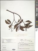 view Miconia cinnamomifolia (DC.) Naudin digital asset number 1