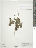 view Salvia squalens Kunth digital asset number 1
