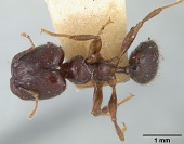 view Pheidole walkeri digital asset number 1