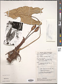 view Alocasia scabriuscula N.E. Br. digital asset number 1