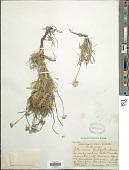 view Actinea scaposa (DC.) Kuntze digital asset number 1