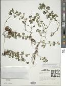 view Glechoma hederacea L. digital asset number 1
