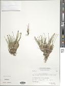 view Trichophorum cespitosum (L.) Hartm. digital asset number 1