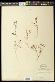 view Euphorbia cumbrae Boiss. digital asset number 1