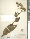 view Parthenium integrifolium L. digital asset number 1