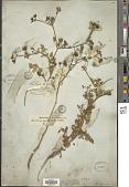 view Capnophyllum leptophylla digital asset number 1
