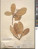 view Corynocarpus laevigatus J.R. Forst. & G. Forst. digital asset number 1