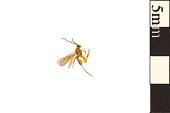 view Braconid Wasp digital asset number 1